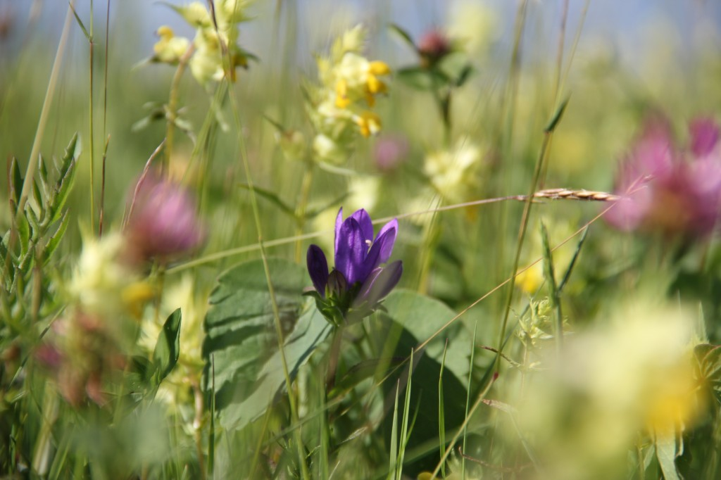 Blumen, Gräser - Pollen lösen oft Allergien aus