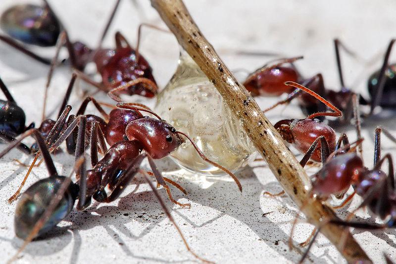 ameisen bek mpfen hausmittel gegen ameisen im haus und garten schweiz tipps. Black Bedroom Furniture Sets. Home Design Ideas