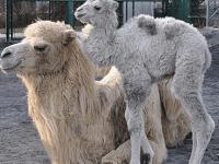 "Baby Kamel ""Kaina"""