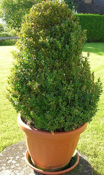 buchsbaum, baum, buchsbaumzünsler, topf