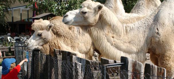 Kamele im Kinderzoo Knie