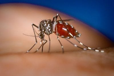 Weibliche Stechmücke (Bild: Wikimedia, James Gathany, CDC)