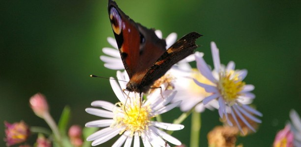 Mehr Schmetterlinge im Garten – mit den richtigen Pflanzen kein Problem
