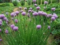 Lavendel, lila, Blüten, Gras, Sträucher