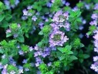 Thymian, blaue blüten