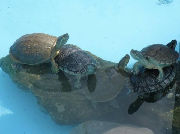 Schildkröten auf Kuba