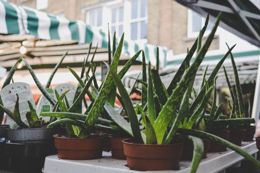 aloe-vera-pflanze