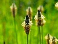 Heilpflanze Spitzwegerich: Herkunft, Merkmale, Anwendung