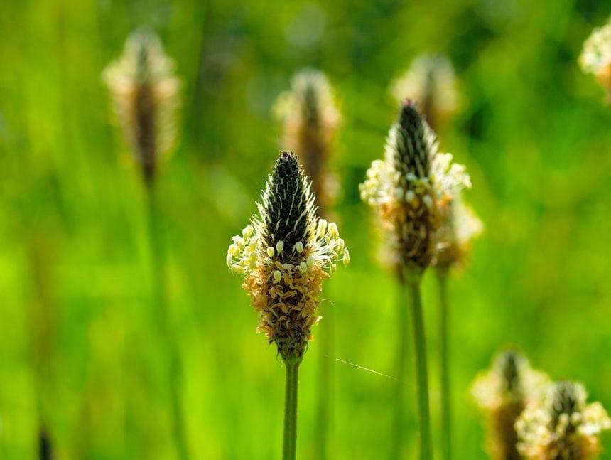 Spitzwegerich Blütenstengel