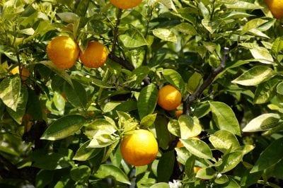 zitrusbaum-orange